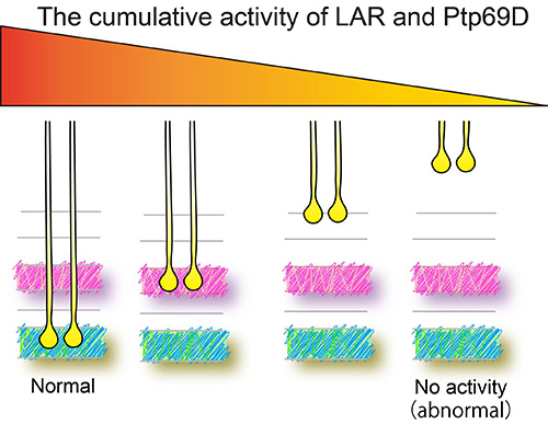 Cumulative LAR and Ptp69D expression controls layer termination of R7 axons.
