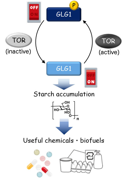 "Figure 3. Representation of the ""switch"" controlling starch accumulation"