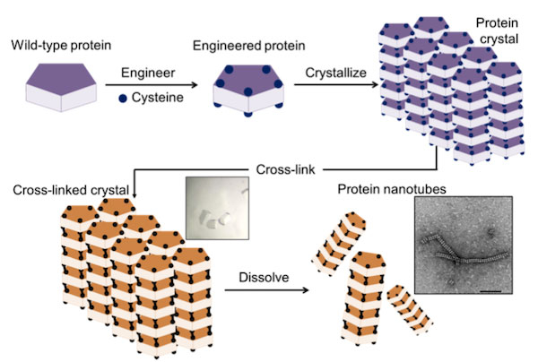 Figure 2. Construction of nanotubes from protein crystals