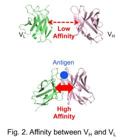 Fig.2.Affinity between VH and VL