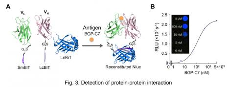 Fig.3. Detection of protein-ptotein interaction