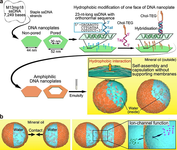 Representation of DNA nanoplate-based microcapsules