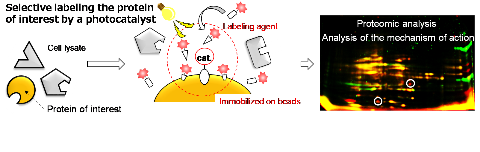 Selective protein labeling using a photoredox catalyst.