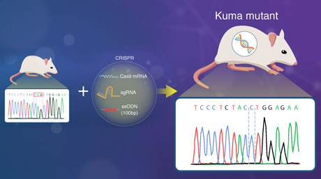 Move over Akita: Introducing 'Kuma Mutant' Mice for Islet Transplantation Research