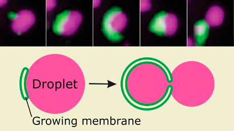 How cells 'eat' their own fluid components