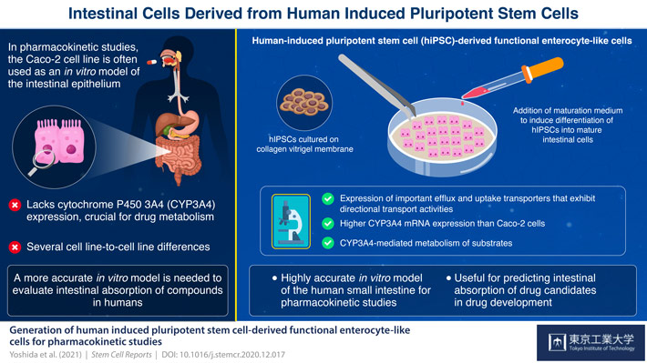 Generation of human-induced pluripotent stem cell-derived functional enterocyte-like cells for pharmacokinetic studies