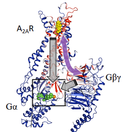 Figure 3. Computational analysis based on modelling and mathematical rigidity theory identifies an activation network pathway encompassing the receptor A2AR, the Gβγ subunit, and the Gα subunits of G-protein, harboring the nucleotide (shown in green). Gβγ subunit was discovered to be critical for signalling and sampling of fully active states of receptor resulting in optimal receptor activation.