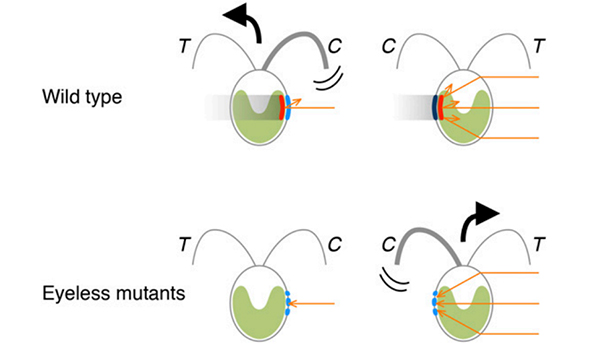 Illustration showing movements in opposite directions triggered by the relative orientation of the light source, eyespot pigments, and photoreceptors.
