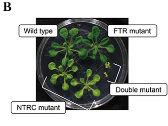 B. Phenotypic effects of mutating FTR/Trx only, NTRC only, or FTR/Trx and NTRC. Absence of NTRC results in pale green leaves and absence of both FTR/Trx and NTRC results in stunted growth. As published in PNAS.