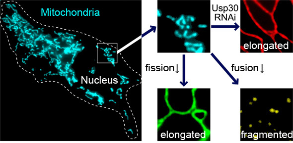 The ubiquitination and deubiquitination system in membranous cellular organelles.