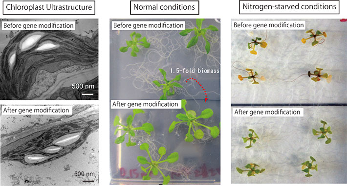 Fig. 3: The genetic-modified model-plant Arabidopsis constructed in the lab has slim chloroplasts, bigger size and starvation-resistance (Maekawa et al. 2015).