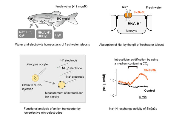 Water and electrolyte homeostasis of freshwater teleosts
