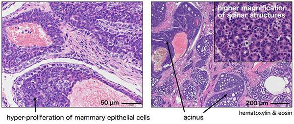 Histological analysis of Nrk mutant breast tumor
