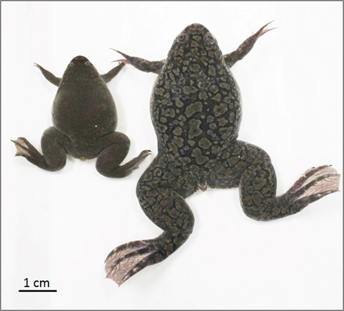 African clawed frog (right) and Western clawed frog