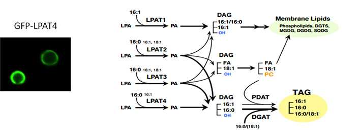 Model of de novo lipid biosynthetic pathway mediated by the four LPATs in Nannochloropsis