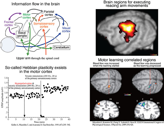 Brain regions that concern execution of arm movements and motor learning