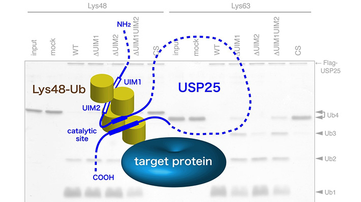 Schematic model for the role of tandem UIMs in USP25. By preferentially binding to the Lys48-linked ubiquitin chain (Lys48-Ub)-conjugated substrate, the tandem UIMs hold it close to the catalytic site of the enzyme which then cleaves Lys48-Ub more readily than Lys63-Ub.