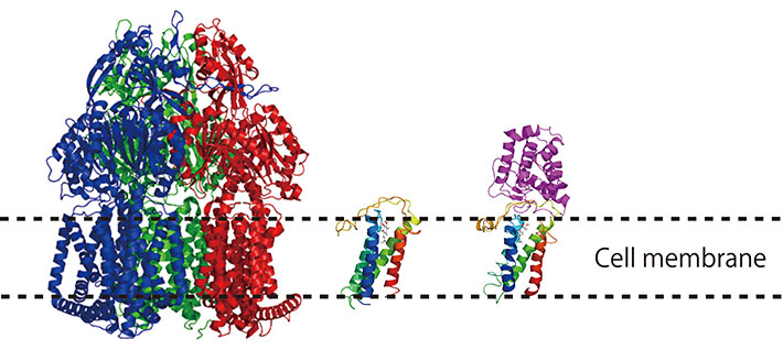 Crystal structures of membrane protein solved in our laboratory