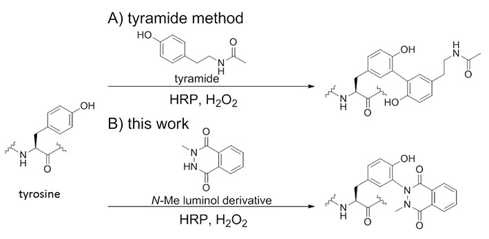 Concept of this work: A) tyramide method, B) this work. Tyrosine modification by using N-methyl luminol derivatives and HRP.