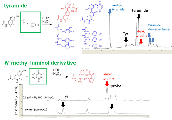 Efficiency of tyrosine modification catalyzed by HRP. Tyrosine modification of with tyramide and N-methyl luminol derivative.