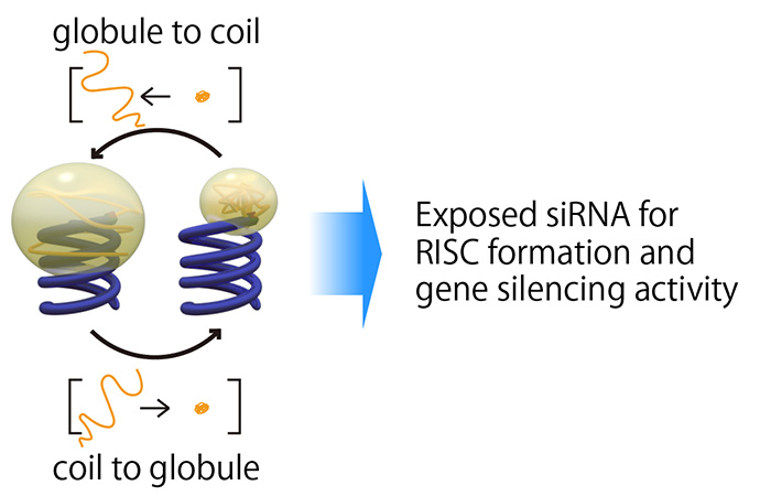 Coil-globule transition of the conjugated polymer for control of siRNA bioactivity