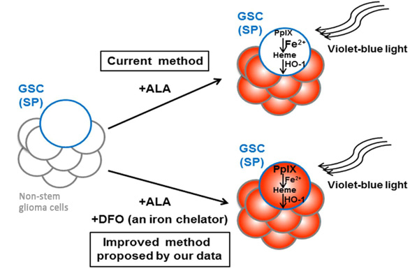 A summary of the improved method for 5-aminolevulinic acid (ALA)-based PDD of glioma stem cells.
