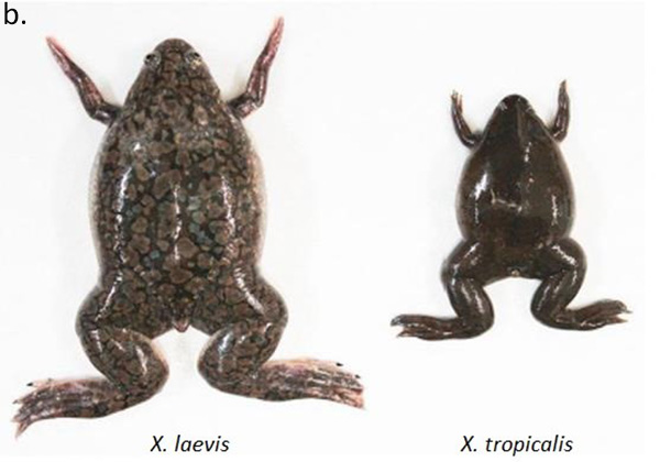 Figure b. Claw frogs X. laevis and X. tropicalis have tetraploid and diploid genomes, respectively.