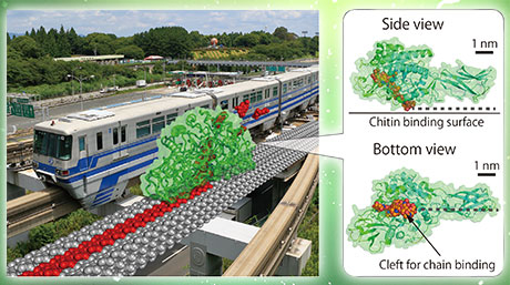 "Chitinase as ""burnt-bridge"" Brownian monorail efficiently hydrolyzing recalcitrant biomass"
