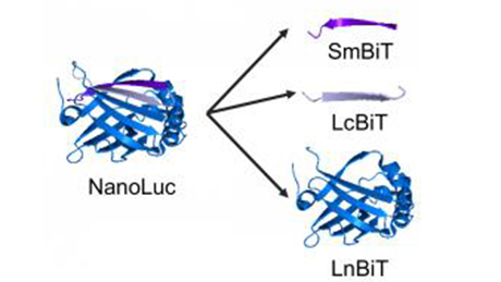 """Luminescent detection of Protein-Protein Interaction by tagging tiny peptides"""