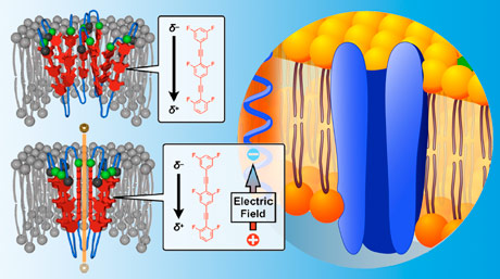 Double Delight: New Synthetic Transmembrane Ion Channel Can Be Activated in Two Ways