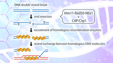 Sharing Shears: Conserved Protein Segment Activates Molecular DNA Scissors for DNA repair