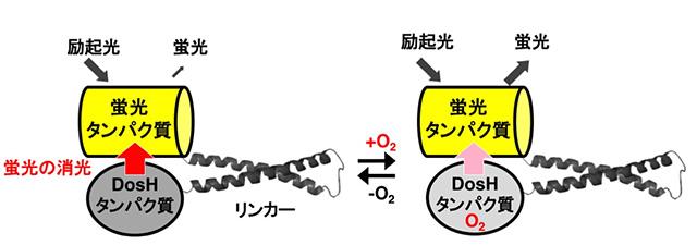 図1. 開発した酸素センサータンパク質プローブの構造モデル 蛍光の消光を作動原理とし、酸素存在下で強い蛍光を発する