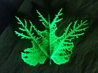 Mulberry leaf veins with fluorescent dye