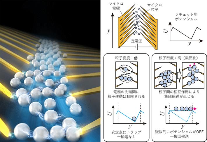 図1. 研究グループは粒子間相互作用によって実現する集団的なラチェット輸送を提案した。この輸送はノコギリ歯状マイクロ電極を使用して形成された、ラチェット型の定常静電ポテンシャルのもとで実現した。粒子密度が低い場合、粒子は安定点にトラップされ、一方向の輸送は観察されなかった。一方、粒子密度が高い場合、粒子集団内で生じる相互作用により疑似的にポテンシャルがOFFになり、粒子が一方向へ集団輸送された。