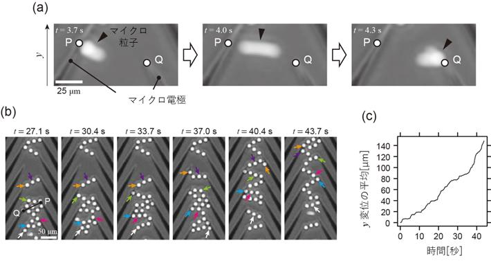 図3. (a)前後運動を示す粒子のスナップショット(粒子密度が低い条件)。粒子は点Pと点Qを結んだ線分PQ上に制限され、一方向の輸送は観察されなかった。(b)粒子集団のスナップショット(粒子密度が高い条件)。粒子密度が高い条件では粒子が集団を形成し、一方向へ集団輸送されることが観察された。(c)個々の粒子のy変位を平均した値の時間変化。集団輸送によるy変位の増加がみられた。
