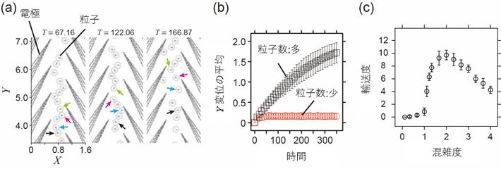 図4. (a)静電気力、誘電泳動力および衝突の効果を導入したモデルによるシミュレーションのスナップショット(粒子密度が高い条件)。一方向へ集団輸送されることが観察される。(b)個々の粒子のY変位を平均した値の時間変化。実験結果と同様に、粒子数が多い場合にのみ集団輸送が観察される。(c)単純化モデルによって計算された輸送度と混雑度の関係。単純化モデルでは、それぞれの周期内に存在する粒子の数によってポテンシャルが弱まる。混雑度が増加するにつれて輸送度が増加する一方で、混雑度がある値を超えると輸送度が減少し始める。