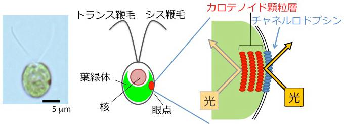 (左)クラミドモナス細胞と(中)その模式図。2本の鞭毛を平泳ぎのように動かして水中を泳ぐ。核を取り囲むようにして葉緑体がある。細胞の中に見える赤い点が眼点。眼点に近い側の鞭毛をシス鞭毛、遠い側をトランス鞭毛と呼ぶ。(右)眼点の模式図。赤いカロテノイド色素を含む顆粒層の直上の細胞膜に光受容タンパク質チャネルロドプシンがある。色素顆粒層が光を反射する性質をもつため、チャネルロドプシンは細胞の外から来た光にのみ反応する。