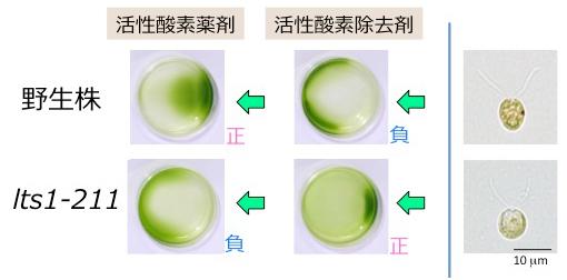 (左)クラミドモナス培養液をシャーレにいれて右から光を当てたもの。野生株細胞は活性酸素薬剤を加えると正、活性酸素除去剤を加えると負の走光性を示す。一方、新たに単離したlts1-211株は逆の走光性を示す。(右)顕微鏡観察すると、lts1-211細胞には赤い眼点が存在しなかった。