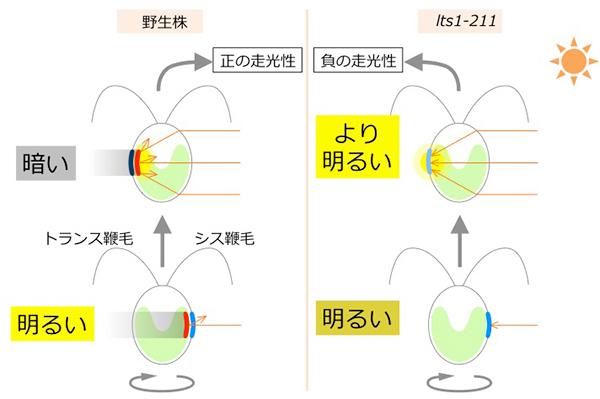 細胞レンズ効果仮説。野生株が正の走光性を示すような条件下で、右に光源があるとき、野生株(左)は眼点(色素層を赤、光受容体を青で示した)が右にあると色素層の光の反射により「明るい」、左側にあると、たとえ細胞がレンズ効果で集光したとしても、それは色素層で遮られて「暗い」と感じる。明るいと感じたときにトランス鞭毛を強く打って右にターンする。lts1-211細胞は色素層を持たないが光受容体は存在するので、これが右を向けば「明るい」と感じる。しかし、光受容体が左側を向いたとき、もしも細胞が集光したら、「より明るい」と判断し、このときトランス鞭毛を強く打つと左にターンするだろう。