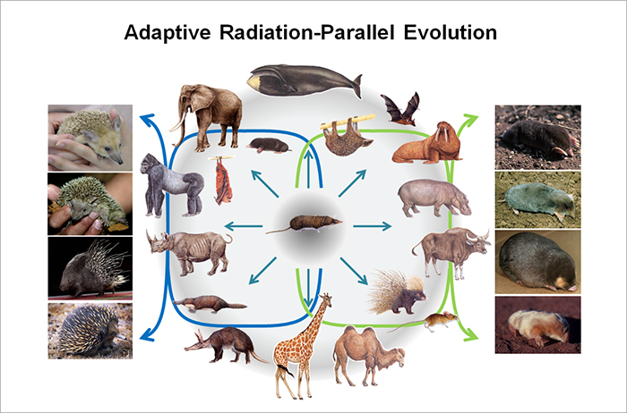 Adaptive Radiation-Parallel Evolution