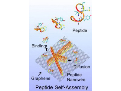 Depiction of peptides self-assembling into nanowires on a 2-D surface of the semimetal graphene. ©Mehmet Sarikaya
